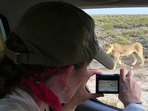 Jen in the truck videoing a lion walking behind the truck.