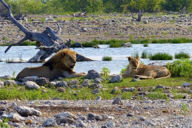 Lions at the waterhole, Etosha National Park