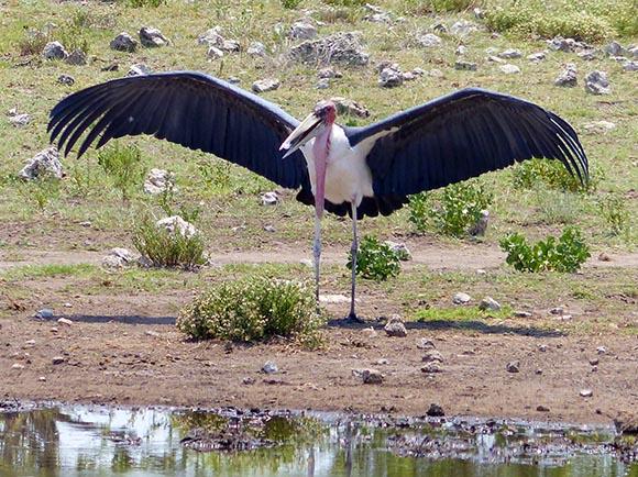 Marabou Stork, Etosha National Park