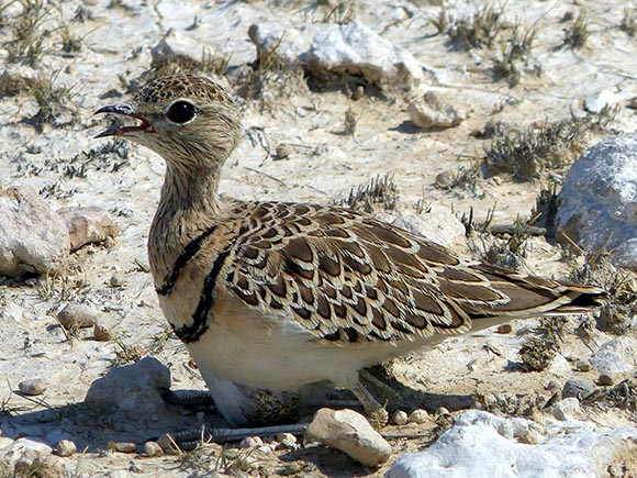 Double-banded courser sitting on an egg.
