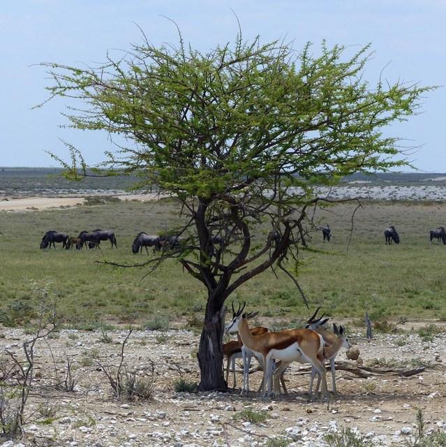 Springbok and Wildebeest, Etosha National Park