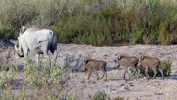 Mama wartog and babies, Etosha National Park