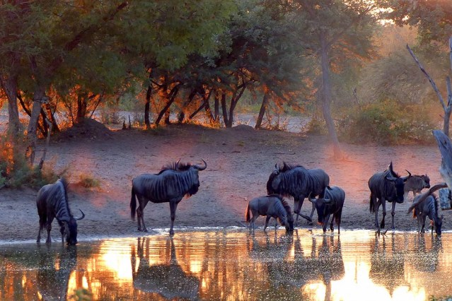 Wildebeest at the waterhole in the early morning light.