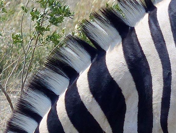Zebra stripes, Etosha National Park
