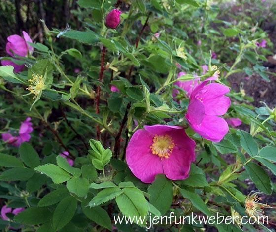 Wild Prickly Roses (Rosa acicularis)