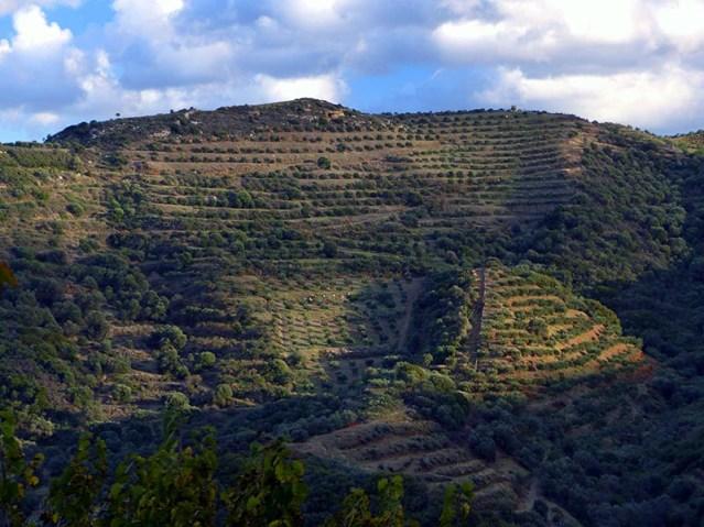 Endless olive trees, Crete - Jen Funk Weber