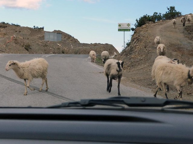 Goats on the road, driving on Crete - Jen Funk Weber