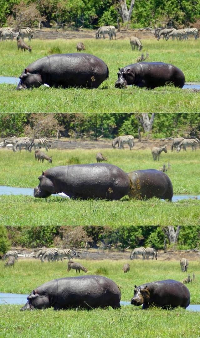 Hippo dung showering, Khwai River, Botswana