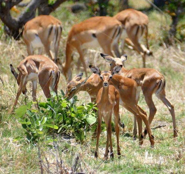 Impala nursery, Botswana