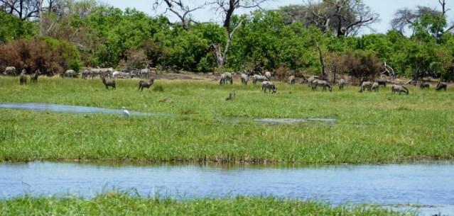 Multi-species scene in Botswana, zebras, waterbucks, wildebeest