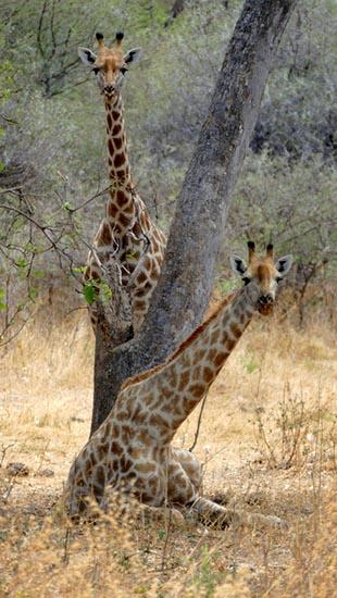 Sitting and standing giraffes, South Gate Road, Botswana
