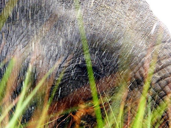 Elephant in spray, Boro River, Okavango Delta, Botswana