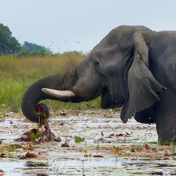 Elephant trunk grabbing lilies, Boro River, Okavango Delta, Botswana