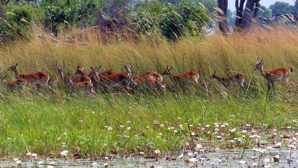 A group of lechwe along the Boro River, Okavango Delta, Botswana