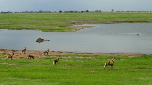 African wild dogs consider dead elephant and hippo, Chobe National Park, Botswana