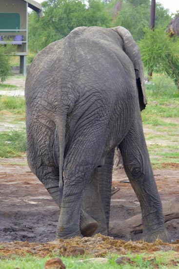 Elephant at rest, Elephant Sands, Botswana