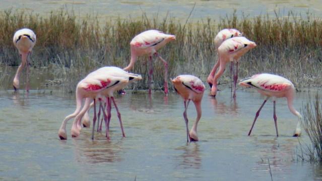 Flamingos feeding, Nata Bird Sanctuary, Botswana