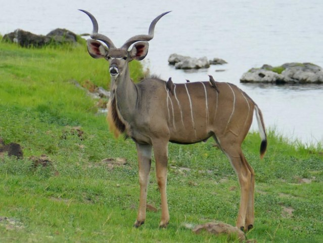 Male kudu with oxpeckers, Chobe National Park, Botswana