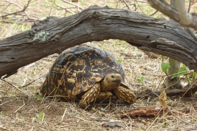 Tortoise, Chobe National Park, Botswana