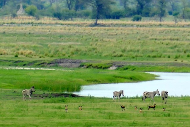 Zebras confront African wild dogs, Chobe National Park, Botswana