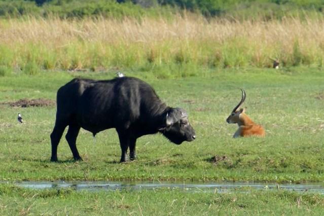 Cape buffalo and lechwe, Mahango, Bwabwata National Park, Namibia