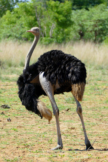 Ostrich with naked leg, Mahango, Bwabwata National Park, Namibia