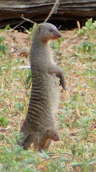 Banded mongoose pup, Africa