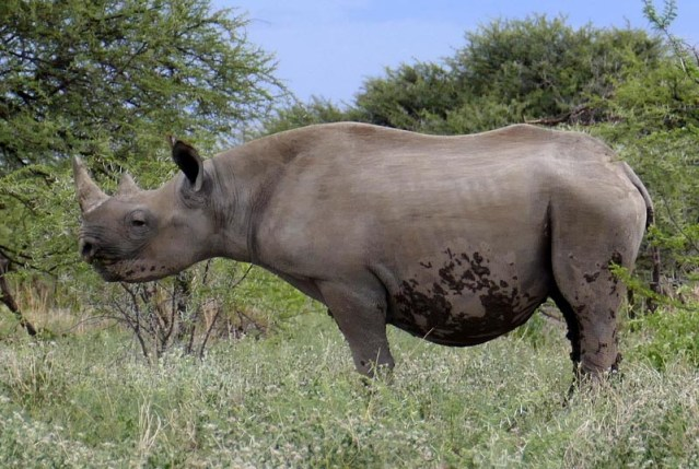 Black rhino young, Africa