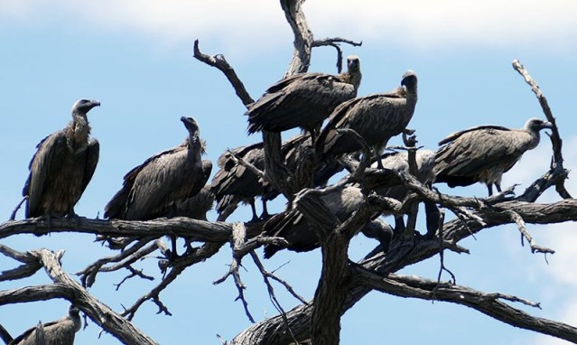 White-backed vultures in tree at Mahango, Bwabwata National Park, Namibia
