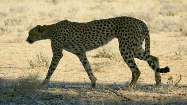 Cheetah, Kgalagadi Transfrontier Park, photo by Mike Weber