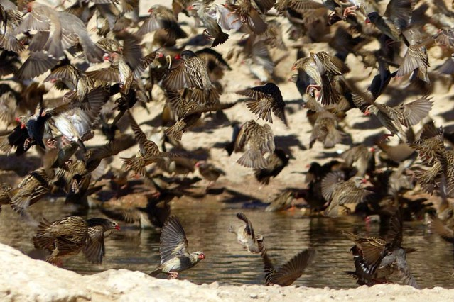 Close-up of red-billed quelea group at waterhole, Kgalagadi Transfrontier Park, photo by Mike Weber