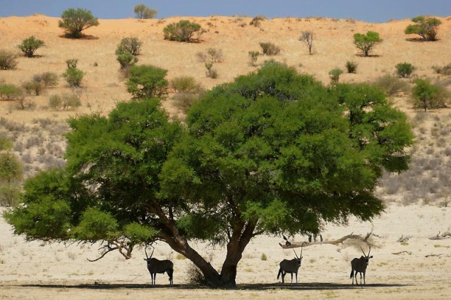 Gemsbok under a shady tree, Kgalagadi Transfrontier Park, photo by Mike Weber
