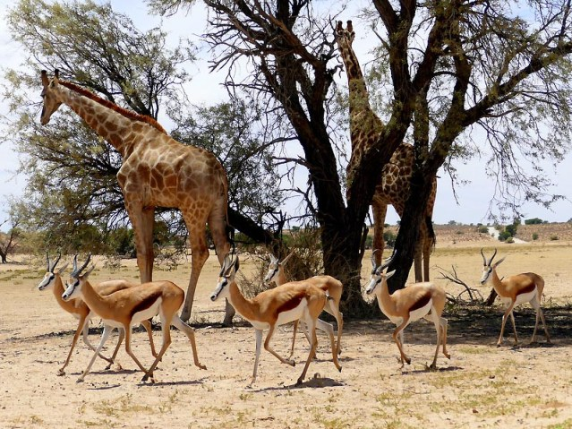Giraffe and springboks, Kgalagadi Transfrontier Park, photo by Mike Weber