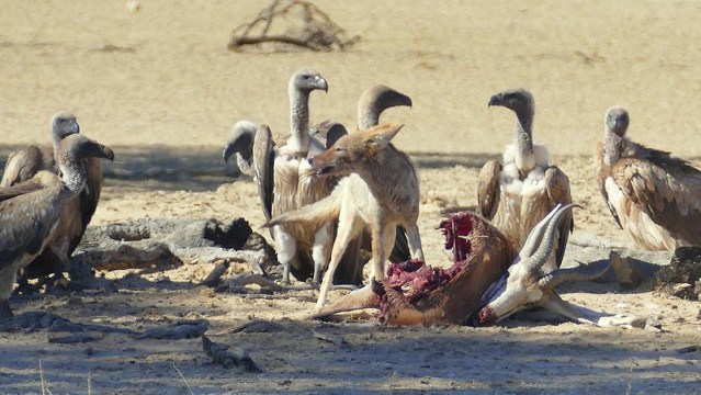 Jackal on springbok kill, surrounded by whitebacked vultures, Kgalagadi Transfrontier Park, photo by Mike Weber