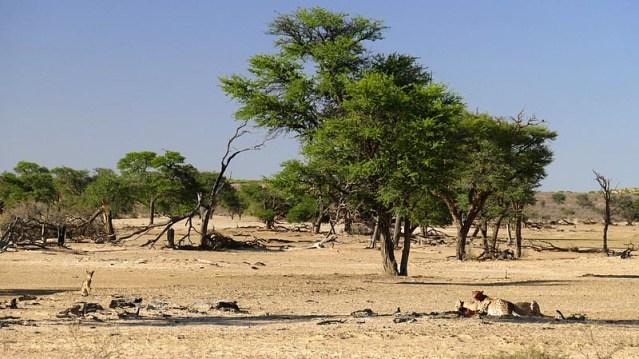 Jackal waiting patiently at a cheetah kill, Kgalagadi Transfrontier Park, photo by Mike Weber