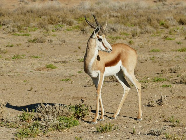 Springbok, Kgalagadi Transfrontier Park, photo by Mike Weber