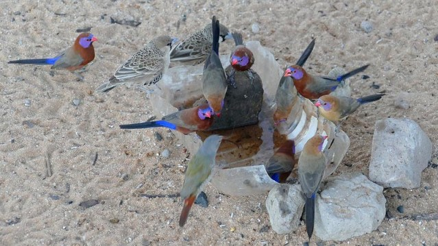 Violet-eared waxbills and sociable weavers at campsite water trough, Kgalagadi Transfrontier Park, photo by Mike Weber