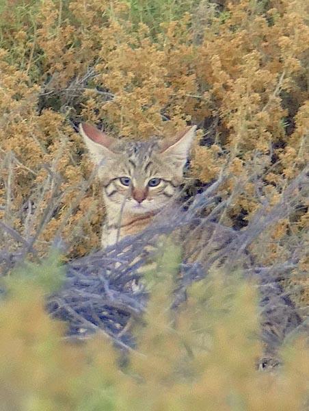 African wildcat kitten, Kgalagadi Transfrontier Park, photo by Mike Weber