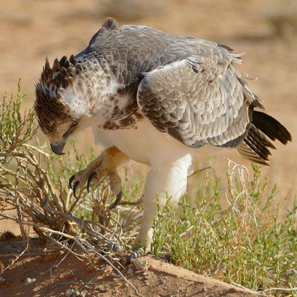Juvenile martial eagle, Kgalagadi Transfrontier Park, photo by Mike Weber