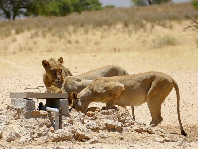 Lioness and two teen male cubs drink at waterhole, Kgalagadi Transfrontier Park, photo by Mike Weber, Jen Funk Weber