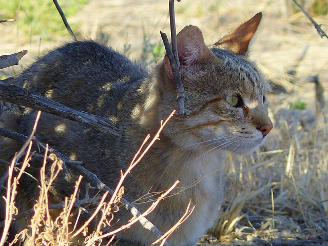 African wild cat, Kgalagadi Transfrontier Park, photo by Mike Weber, Jen Funk Weber