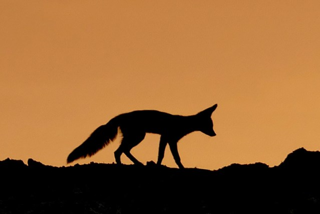 Cape fox silhouette, Kgalagadi Transfrontier Park. Photo by Mike Weber.