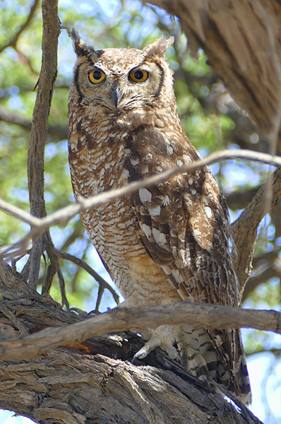 Spotted eagle owl, Kgalagadi Transfrontier Park, photo by Mike Weber, Jen Funk Weber
