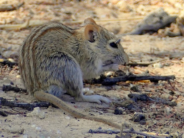 Striped mouse with fly sipping from its eye, Kgalagadi Transfrontier Park, photo by Mike Weber, Jen Funk Weber