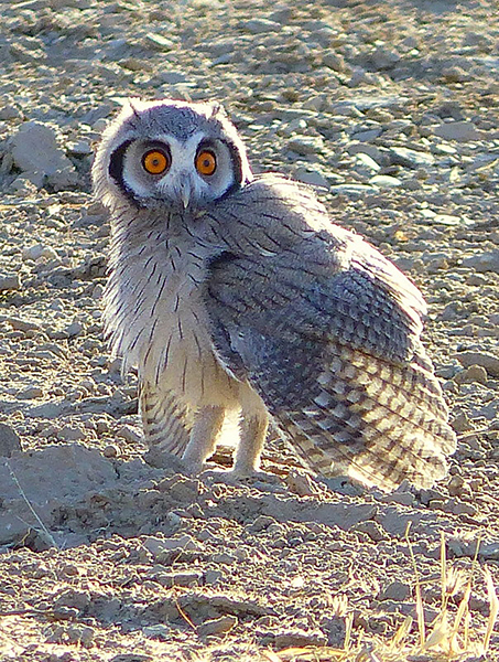 White-faced scops owl staring down two goshawks, Kgalagadi Transfrontier Park, photo by Mike Weber, Jen Funk Weber
