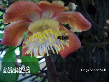 Bunga pohon Salla
