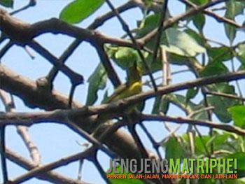nectarinia-jugularis-betinaBurung Madu Sriganti/Olive-backed Sunbird (Nectarinia jugularis) betina