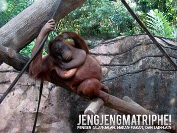 Orangutan sedang bersantai