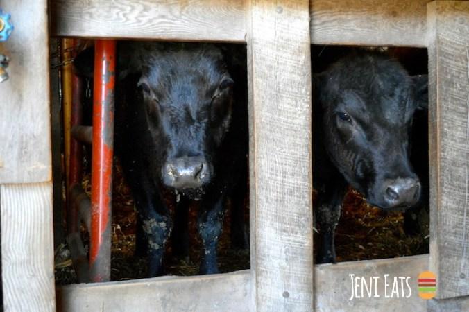 cows looking