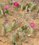 purple-flower-cactus